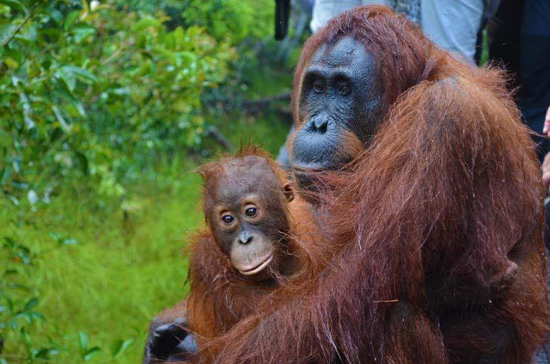 Mama Orang-Utan mit ihrem Jungen