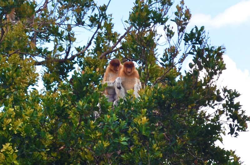Nasenaffen in den Baumkronen