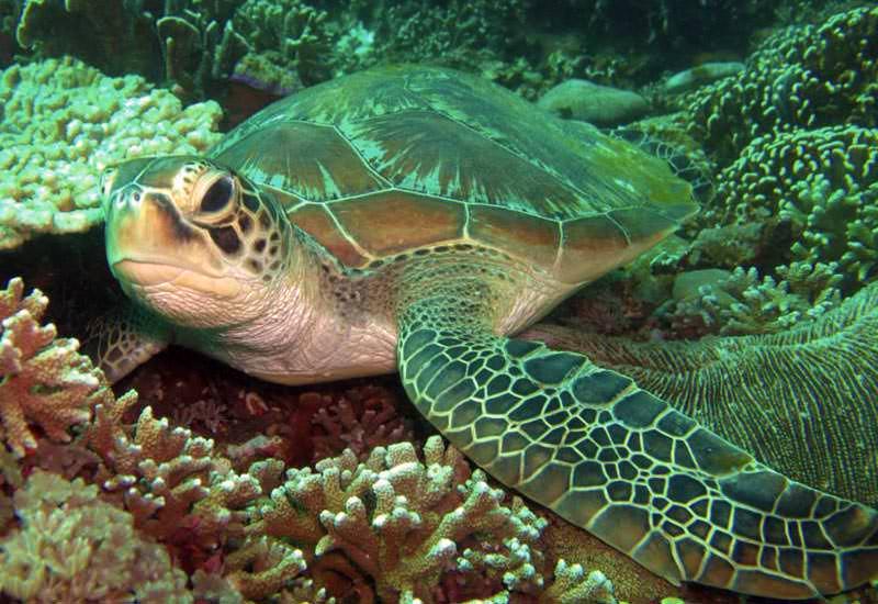 Eine Grüne Meeresschildkröte ruht am Riff